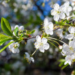 Stock Photo: White blossoming cherry tree twig
