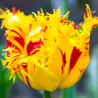 Tulip with fringe — Stock Photo