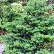 Small fluffy green fir tree. - Stock Photo