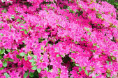 Blossoming Rhododendron bush with pink flowers — Stock Photo