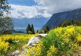 Yaz dağ yamacında sarı kır çiçekleri — Stok fotoğraf