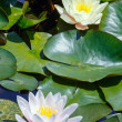 Pink water lily — Stock Photo #31398301