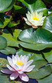 Pink water lily — Stock Photo