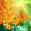 Autumn maple trees in park and sunshine — Stock Photo