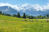 Herd cows on glade and Mont Blanc mountain massif (view from Pla — Stock Photo
