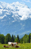 Herd cows on glade and Mont Blanc mountain massif (view from Pla — Foto Stock