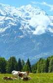 Herd cows on glade and Mont Blanc mountain massif (view from Pla — Stockfoto