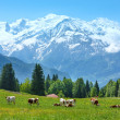 Herd cows on glade and Mont Blanc mountain massif view — Stock Photo #39825149