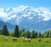 Herd cows on glade and Mont Blanc mountain massif view — Stock Photo