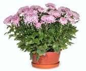 Chrysanthemums in flowerpot — Foto Stock