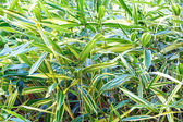 Green vegetative background (reed canarygrass) — Stock Photo