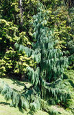 Evergreen tree in summer city park grove — Stock Photo