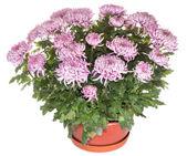 Chrysanthemums in flowerpot — Stock Photo