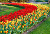 Beautiful red and yellow tulips.  — Stock Photo