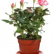 Blossoming rose plant in flowerpot — Stock Photo #4470393
