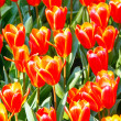 Spring red-yellow tulips (closeup) — Stock Photo
