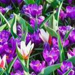Spring purple crocuses and white tulips (macro) — Stock Photo #45784569