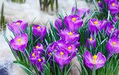 Весенние Фиолетовые крокусы (макрос) — Стоковое фото