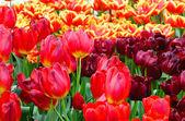Весна рядом красные и Желтые тюльпаны. — Стоковое фото