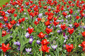 Spring red tulips and purple crocuses (closeup) — Stock Photo