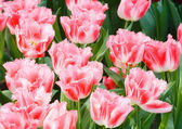 Beautiful pink tulips closeup. — Stock Photo