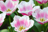 Beautiful white-pink tulips closeup. — Stock Photo
