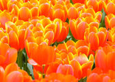 Beautiful red-yellow tulips (closeup) — Stock Photo