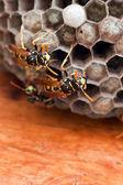 Genres vespula et dolichovespula ou guêpes jaunes — Photo
