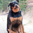 Rottweiler - Stock Photo