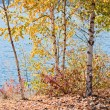 Birch trees by the lake - Stock Photo