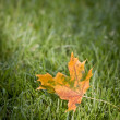 Autumn maple leaf - Stock Photo