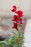 Snapdragon — Stockfoto