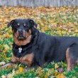 Female Rottweiler - Stock Photo