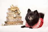 Christmas pomeraninan dog — Stock Photo