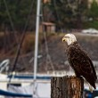 Stock Photo: Young bald eagle