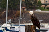 Young bald eagle — Stock Photo