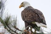 Americký orel bělohlavý — Stock fotografie