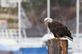 Young Bald eagle — Stock Photo