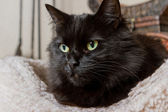 Black cat — Foto Stock