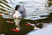 Duck in a pond — Stock Photo