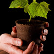 Baby cucumber plant — Stock Photo