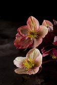Christmas roses (hellebore, helleborus purpurascens) — Stock Photo