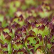 Sempervivum succulent close up (Hens and Chicks) — Stock Photo