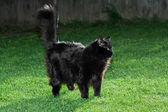 Long black hair cat — Stock Photo