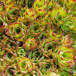 Hens and chicks — Stock Photo