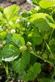 Jahodová rostlina — Stock fotografie