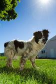 Cane bestiame australiano — Foto Stock