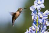 Humming bird feeding — Stock Photo