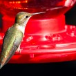 Humming bird utfodring — Stockfoto