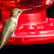 Stock Photo: Humming bird feeding